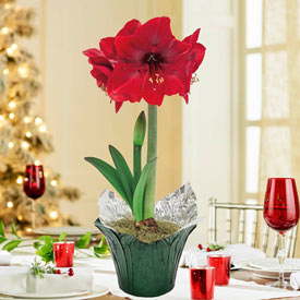 Holiday Red Amaryllis in Foil Wrapped Pot