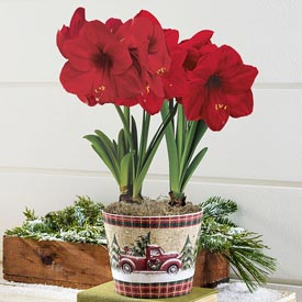 Miracle Amaryllis In Classic Pickup Planter