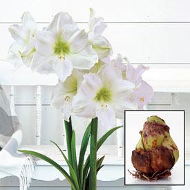Christmas Gift Amaryllis 26/28cm Bulb