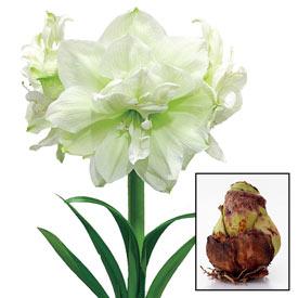 Marilyn Amaryllis 26/28cm Bulb