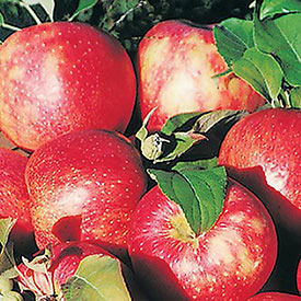 Reachables<sup>&reg;</sup> Honeycrisp Apple Tree