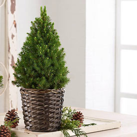 Simple Living Spruce