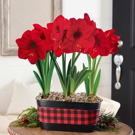 Miracle Amaryllis in Buffalo Plaid Pot Single & Triple