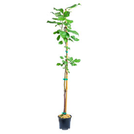 Reachables<sup>®</sup> Honeycrisp Apple Tree