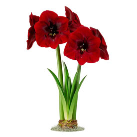 Royal Velvet Amaryllis Single & Triple