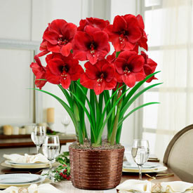 Miracle Amaryllis Basket