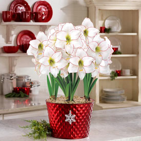 Picotee Amaryllis in Red Snowflake Pot