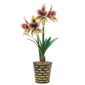 Papilio Amaryllis Single & Triple