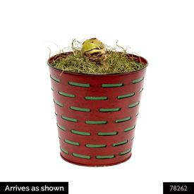 Twinkle Amaryllis Single in Olive Basket