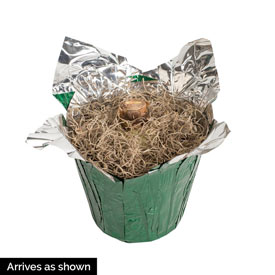 Caprice Amaryllis Single In Foil Wrapped Pot
