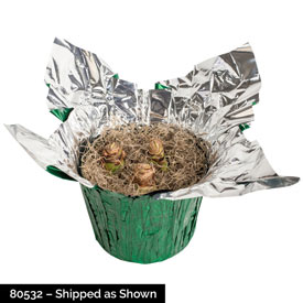 Cherry Nymph Amaryllis in Foil Wrapped Pot