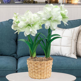 Marilyn Amaryllis Duo in Woven Pot