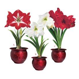 Red Holiday Amaryllis Trio