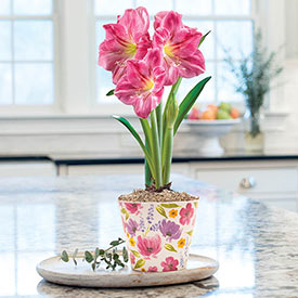 Candy Floss Amaryllis in Floral Pot