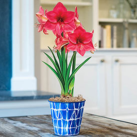 Adele Amaryllis in Abstract Blue Pot