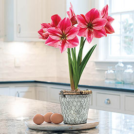 Gervase Amaryllis in Farmhouse Chic Pot