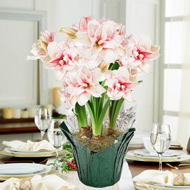Double Elvas Amaryllis in Foil Wrapped Pot