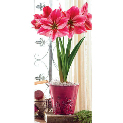Gervase amaryllis quotes for Pot amaryllis