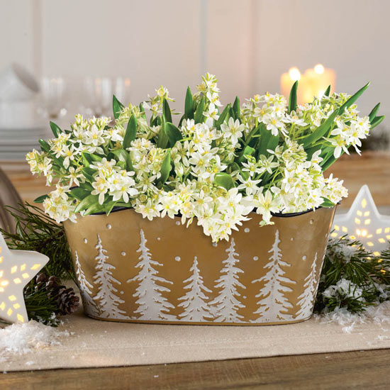 Star of Bethlehem Planter