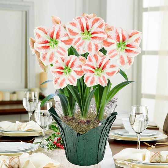 Clown Stripe Amaryllis