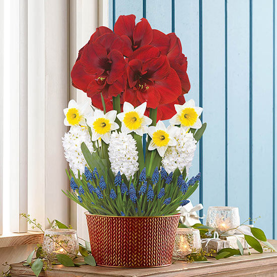Amaryllis Delight Bulb Garden