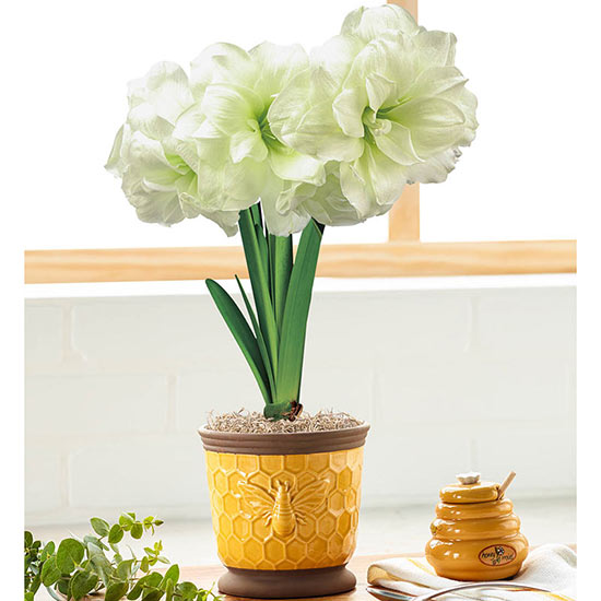 Alfresco Amaryllis in Bee Pot