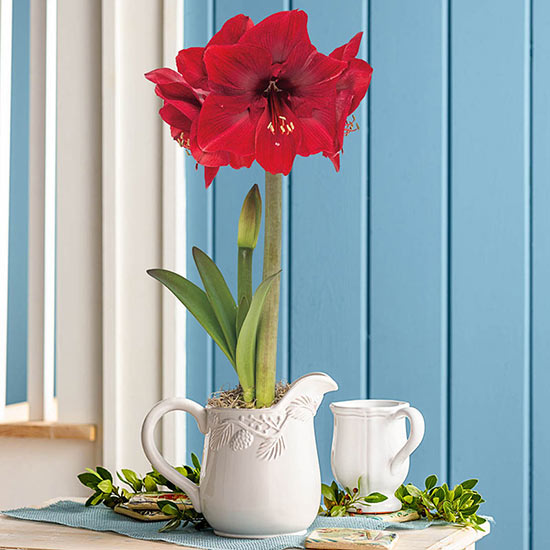 Miracle Amaryllis in Pine Bough Pitcher