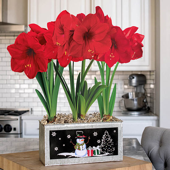 Miracle Amaryllis in Galvanized Snowman Planter Single & Triple