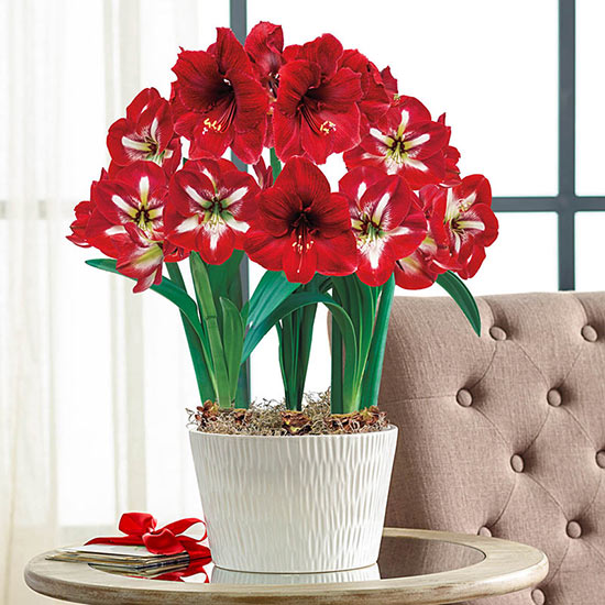 Red-and-White Delight Amaryllis Trio