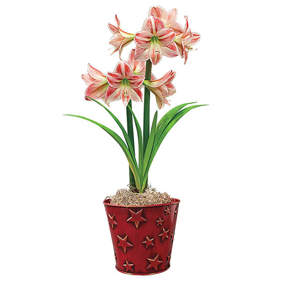 Starry Night Fairy Tale Amaryllis Single