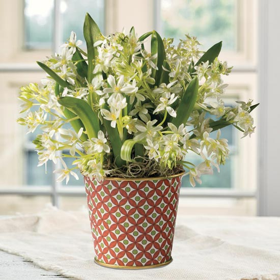 Mini Star of Bethlehem Planter