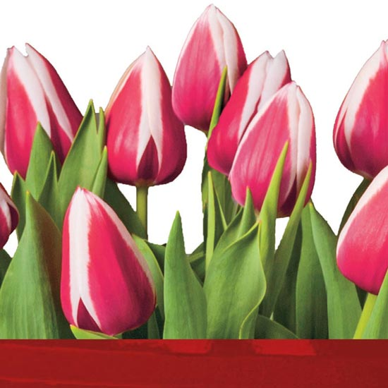 February Plant of the Month — Red and White Tulips