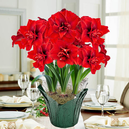 Inferno Amaryllis in Foil Wrapped Pot