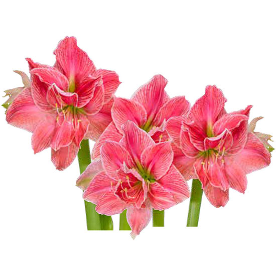 Double Sweet Nymph Amaryllis Triple