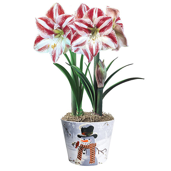 Clown Amaryllis Duo in Snowman Pot