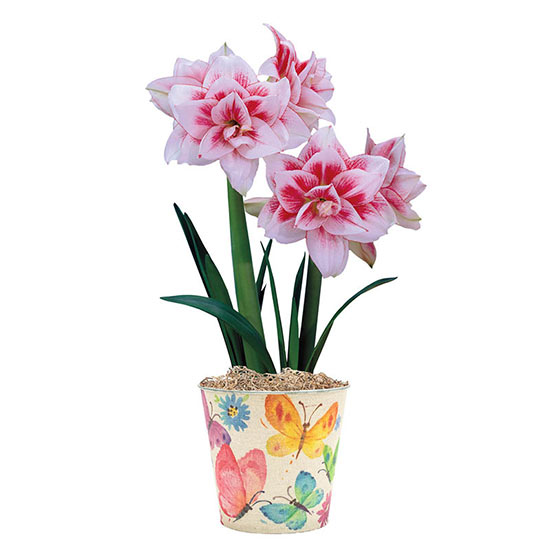 Elvas Single Amaryllis in Butterfly Pot