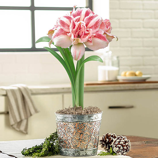 Sweet Dreams Scented Amaryllis
