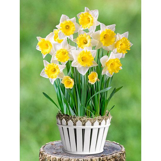 Daffodil Delight Bulb Garden