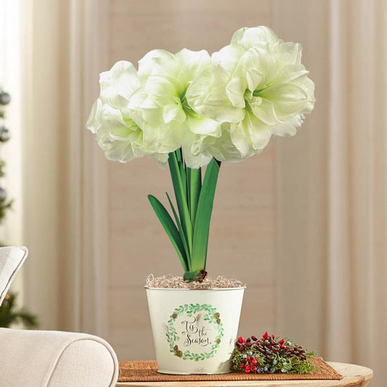 Alfresco Amaryllis in Decked Out Pail
