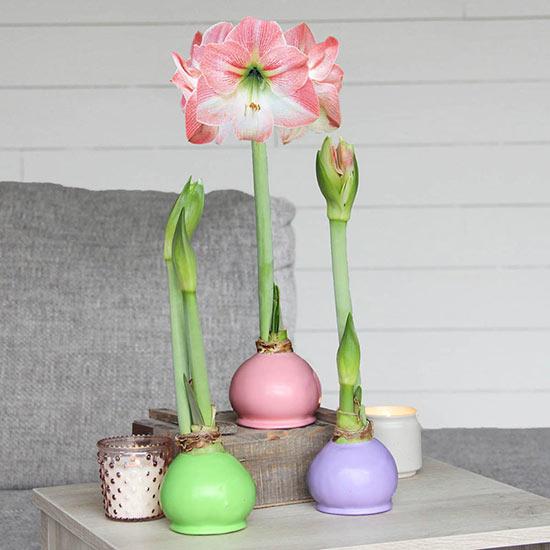 Spring Waxed Amaryllis