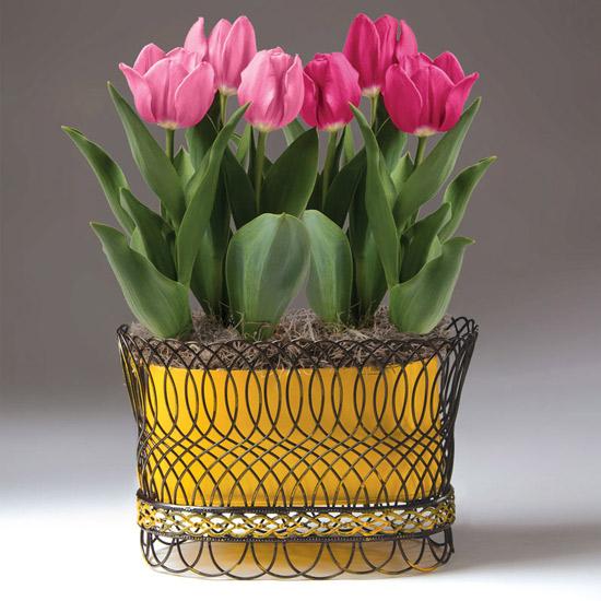 Pink Perfection Tulip Bulb Garden