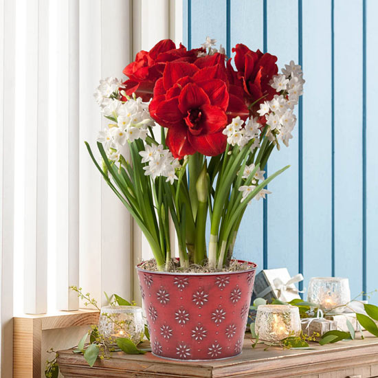 Amaryllis and Paperwhites Bulb Garden