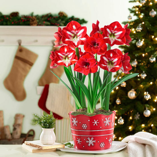 Red and White Delight Amaryllis Trio