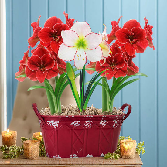 Magical Touch and Picotee Amaryllis Triple