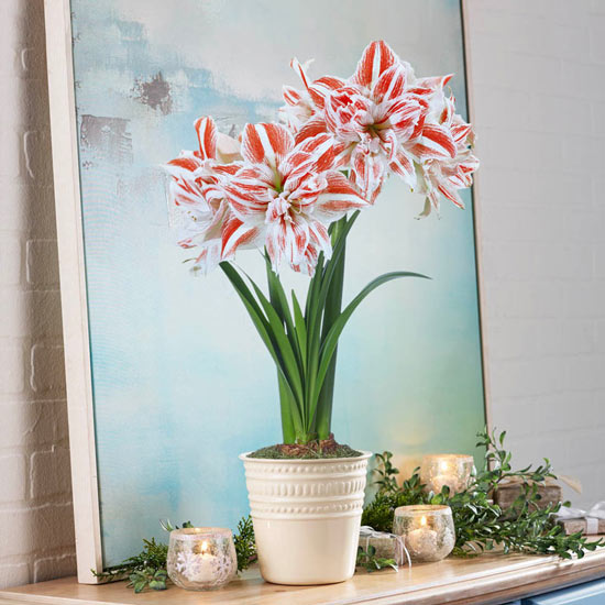 Dancing Queen Amaryllis Single in Cream Pot