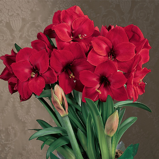 Holiday Red Amaryllis Single & Triple