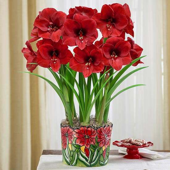 Stained-Glass Miracle Amaryllis
