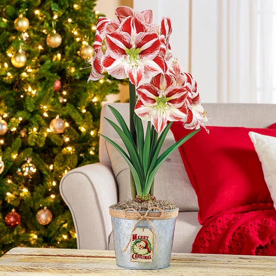 Clown Amaryllis In Santa Pot