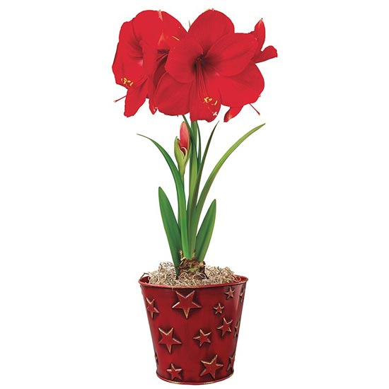 Starry Night Miracle Amaryllis