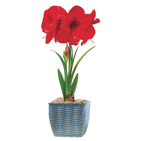 Miracle Amaryllis in Metal Basket